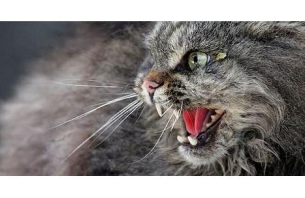 agresiune pisiceasca